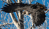 A juvenile bald eagle takes flight in blue, winter skies.