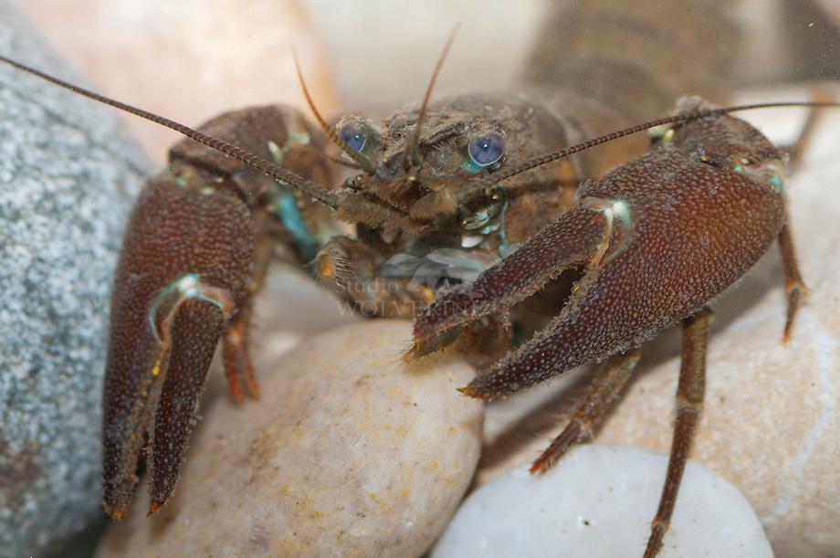 Californische rivierkreeft (Pacifastacus leniusculus)Californische rivierkreeft (Pacifastacus leniusculus)