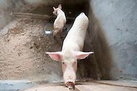 Bensonville, pig farm