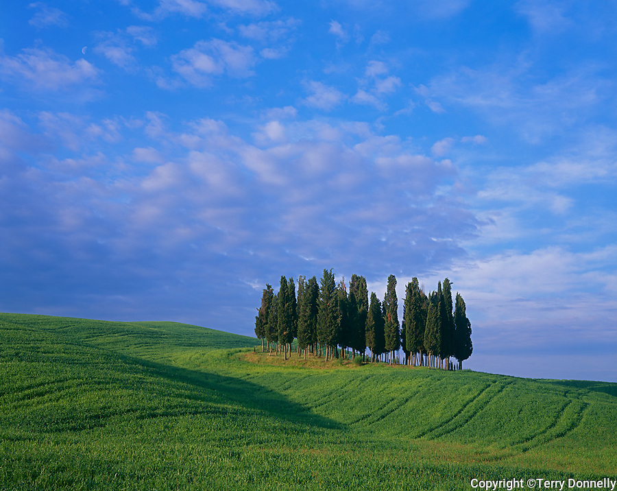 Tuscany, Italy<br /> Grove of cypress trees in rolling wheat fields in the Val D'Orcia near Montalcino
