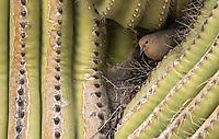 A Mourning Dove, Zenaida macroura, nests in a Saguaro cactus, Carnegiea gigantea, in the Desert Botanical Garden, Phoenix, Arizona