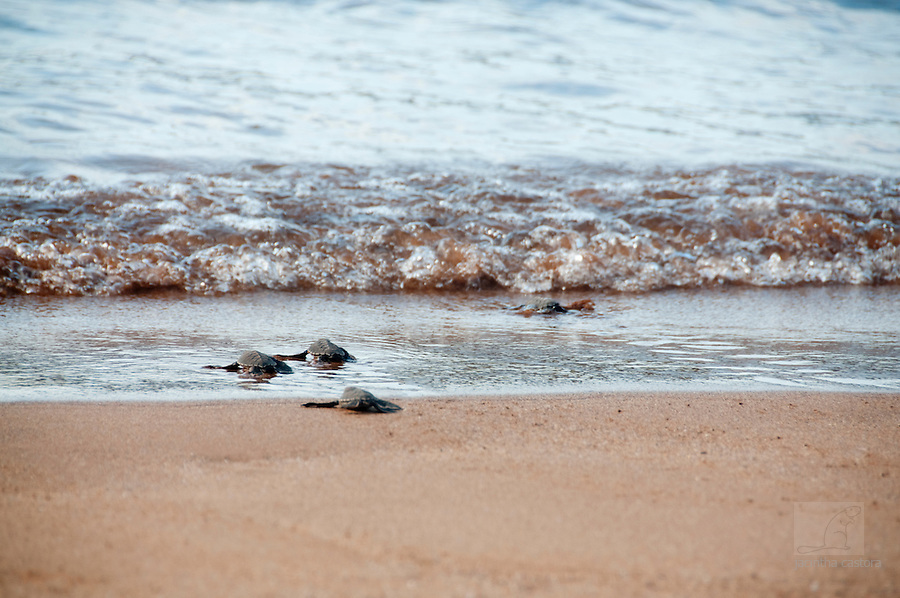 baby turtles made it to the ocean