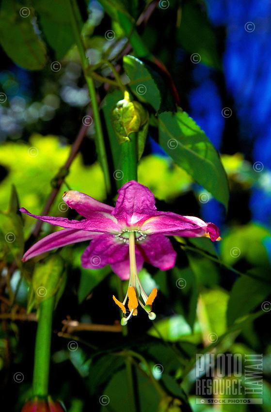 The Banana Poka an invading weed (passiflora mollissima) found on Piha, Hawaiian Islands