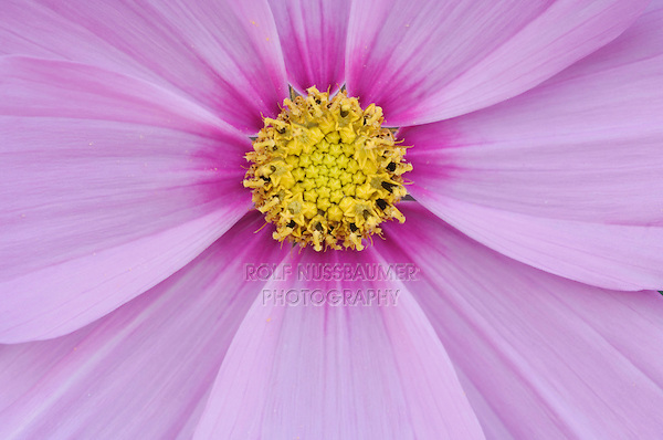 Cosmos, Cosmos sp., blossom, garden flower, Oberaegeri, Switzerland, August 2006
