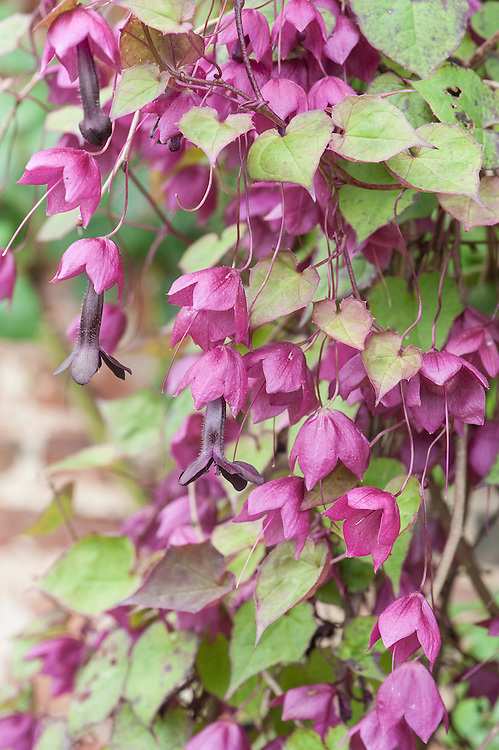 Rhodochiton atrosanguineus, mid August. Purple bell vine, a herbaceous climber with heart-shaped leaves and dangling, tubular pink or maroon flowers. Native to Mexico.