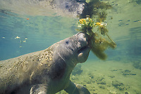 Florida manatee or West Indian manatee, Trichechus manatus latirostris (c) feeding on water hyacinth, Homosassa Springs State Wildlife Park, Florida