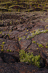 Goldenbush grows from the cracks in the volcanic rock at Craters of the Moon Preserve.