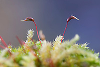 Moss with sporophytes on a tree branch, Dinkling Green, Whitewell, Clitheroe, Lancashire.