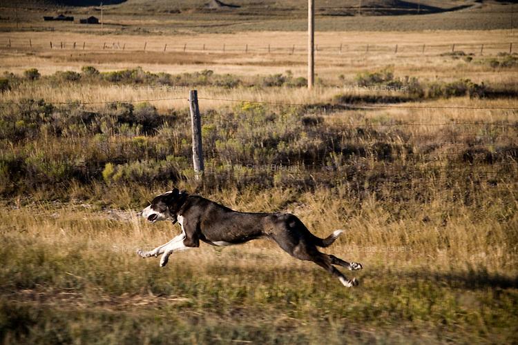 A dog runs along a frontage road in Monida, Montana, USA.