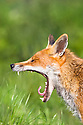 Portrait of yawning Red Fox {Vulpes vulpes}, captive, UK.