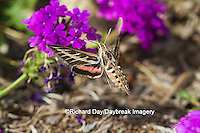 04011-00210 White-lined Sphinx moth (Hyles lineata) on Homestead Purple Verbena (Verbena canadensis 'Homestead Purple'), Marion Co. IL