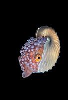 Argonaut, or Paper Nautilus, Argonauta species, female, photographed during blackwater dive in 70 feet of water in Anilao, Philippines, Pacific Ocean