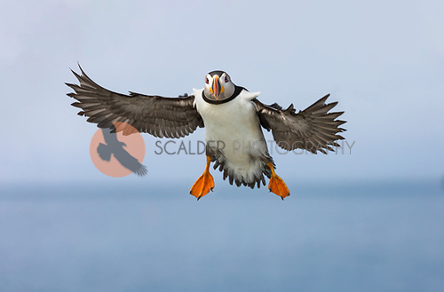 A Common Puffin in breeding colors in flight with wings out approaching the camera.