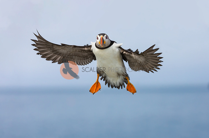 Atlantic Puffin in breeding colors, in flight towards camera