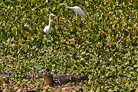 "Pantanal is a tropical wetland and the world's largest wetland of any kind. It lies mostly within the Brazilian state of Mato Grosso do Sul but extends into Mato Grosso as well as into portions of Bolivia and Paraguay, sprawling over an area estimated at between 140,000 square kilometers (54,000 sq mi) and 195,000 square kilometers (75,000 sq mi). Various sub-regional ecosystems exist, each with distinct hydrological, geological and ecological characteristics; <br /> 80% of the Pantanal floodplains are submerged during the rainy seasons, nurturing an astonishing biologically diverse collection of aquatic plants and helping support a dense array of animal species.<br /> The name ""Pantanal"" comes from the Portuguese word pântano, meaning wetland, bog, swamp or marsh. By comparison, the Brazilian highlands are locally referred to as the planalto, plateau or, literally, high plain. It is the land of caimans, Jacarè in portuguese."