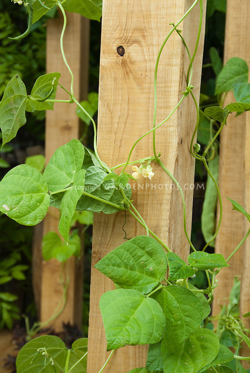 Beans Phaseolus vulgaris Hunter climbing on wooden trellis pole, with ripe vegetables, leaves and vines visible closeup