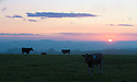 20/08/14 <br /> <br /> Cows are lit by the rising sun after an unseasonably cold night  near Monyash in the Derbyshire Peak District.<br /> <br /> All Rights Reserved: F Stop Press Ltd. +44(0)1335 300098   www.fstoppress.com.