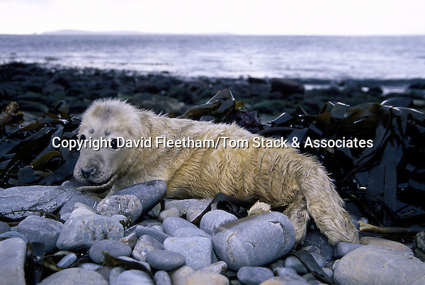 This gray seal [Halichoerus grypus] pup is tended by it's mother on the beach until it molts. The Orkney Islands, Scotland.
