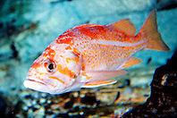 canary rockfish (c), .Sebastes pinniger, .eastern Pacific Ocean.