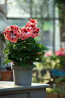 A variegated Geranium in a metal pot