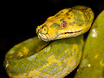 Green Tree Python (Morelia viridis), captive.