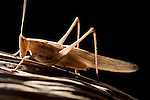 Grasshopper, Acrididae sp., Panama, Central America, Gamboa Reserve, Parque Nacional Soberania, backlight on leaf
