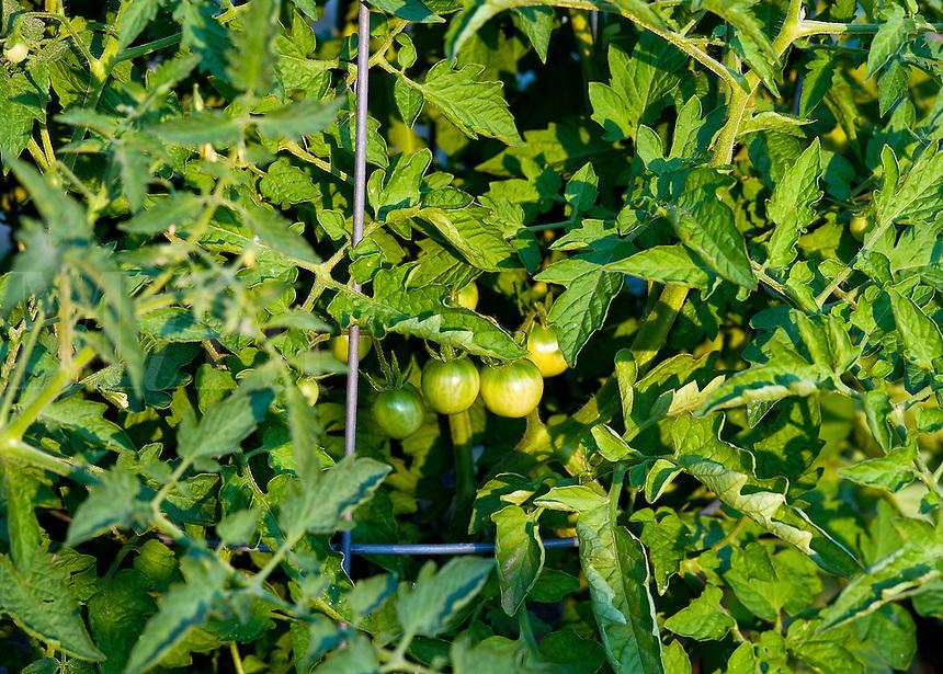 Green cherry tomatoes ripen on the vine.