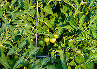 Green cherry tomatoes ripen on the vine.