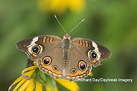 03411-01206 Common Buckeye (Junonia coenia) on Black-eyed Susans (Rudbeckia hirta) Marion Co. IL