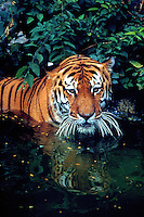 Siberian Tiger cools himself in the summer