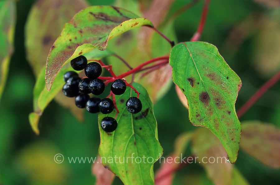 Blutroter Hartriegel, Gewöhnlicher Hartriegel, Früchte, Cornus sanguinea, Common Dogwood, Dogberry