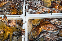 Living octopuses transported in the polystyrene boxes in the port of Malaga, Spain, 17 October 2006.