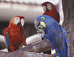 scarlet macaws and hyacinth macaw