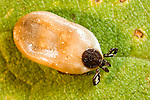 Black-legged deer tick