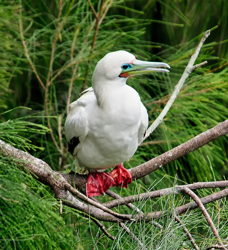 Red-footed booby (Sula sula) sitting in a tree, at the Kilauea Point National Wildlife Refuge, Kauai, Hawaii