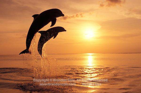 my791. Bottlenose Dolphins (Tursiops truncatus) leaping at sunset. Honduras, Caribbean Sea..Photo Copyright © Brandon Cole. All rights reserved worldwide.  www.brandoncole.com
