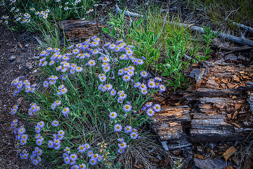 Wildflowers appear during the summer at Grand Canyon National Park, Arizona