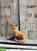 Sitting red fox kit