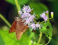 Teleus longtail