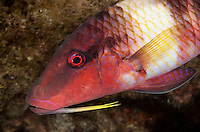 An underwater closeup of a manybar goatfish or moano off of Kahe Point along the Waianae coast of O'ahu.