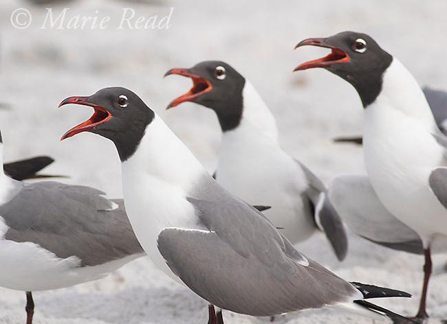 Laughing Gulls (Larus atricilla) three calling, Fort De Soto Park, Florida, USA