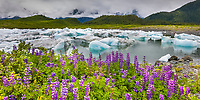 Columbia Glacier icebergs, Lupine wildflowers, northern Prince William Sound, Chugach National Forest, Southcentral, Alaska.