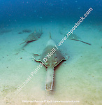 The critically endangered Small Tooth Sawfish, Pristis pectinata, gather offshore the Florida coastline on deep, silty reefs during winter. This species' population has declined by more than 95% due to the destruction and alternation of coastal habitats such as mangroves and the use of nets, which easily trap these giant fish. Historically ranging in the USA from the Carolinas to Texas, the species exists only in Florida nowadays, where it's protected and considered stable.