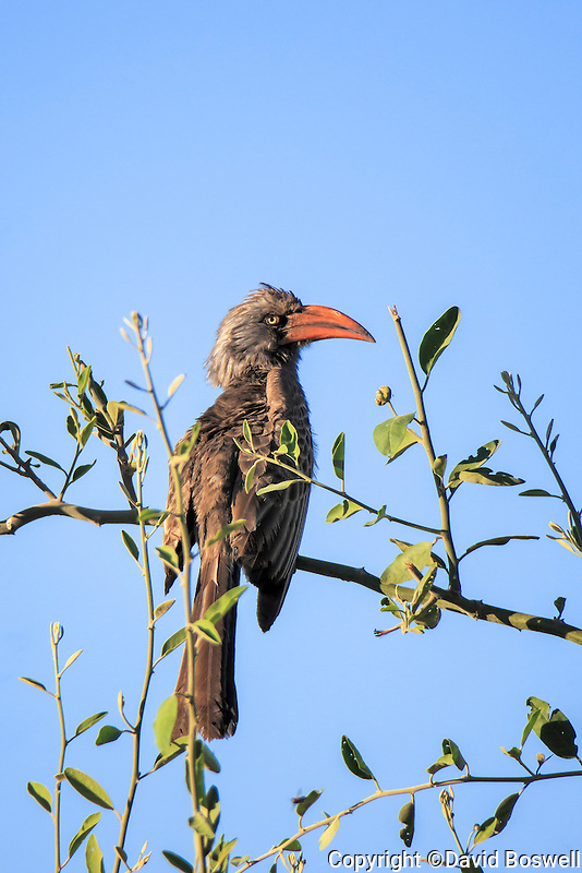 A red-billed hornbill basks in the morning sun near the Imbabala Lodge in Zambezi National Park, Zimbabwe.