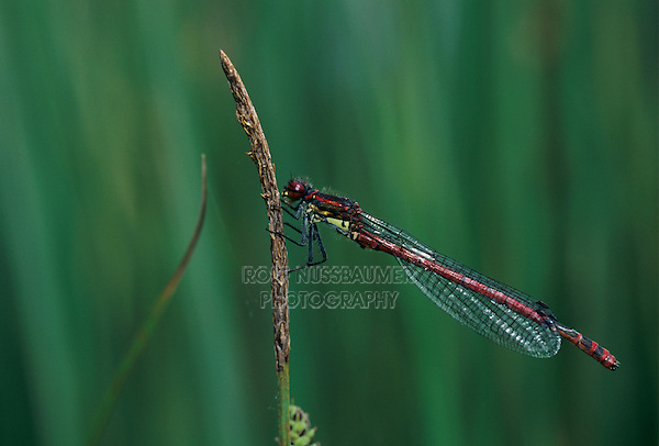 Large Red Damselfly, Pyrrhosoma nymphula, adult, Rothenturm, Switzerland, May 1997