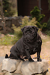 Black Pug Shopping cart has 3 Tabs:<br /> <br /> 1) Rights-Managed downloads for Commercial Use<br /> <br /> 2) Print sizes from wallet to 20x30<br /> <br /> 3) Merchandise items like T-shirts and refrigerator magnets