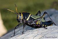 0913-0819  Adult Horse Lubber Grasshopper - Taeniopoda eques © David Kuhn/Dwight Kuhn Photography.