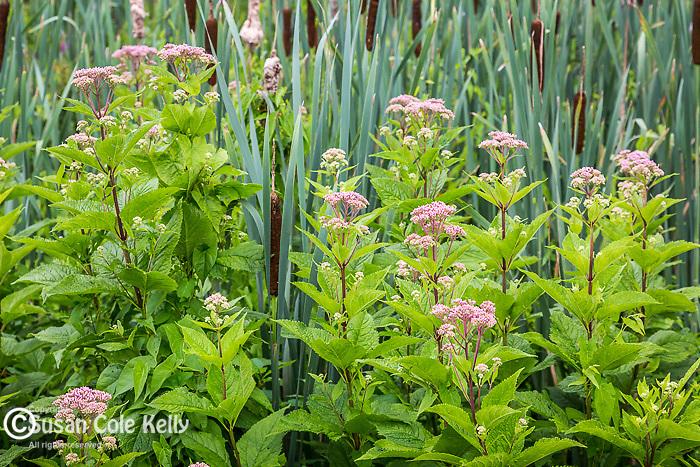 Joe Pye flowers in The Meadow at the Arnold Arboretum in Jamaica Plain, Boston, Massachusetts, USA