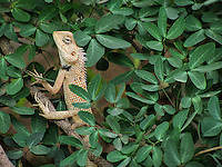 A dangerous and sharp looking brown Chameleon surfacing  out from beautiful layer of green leaves of bushes