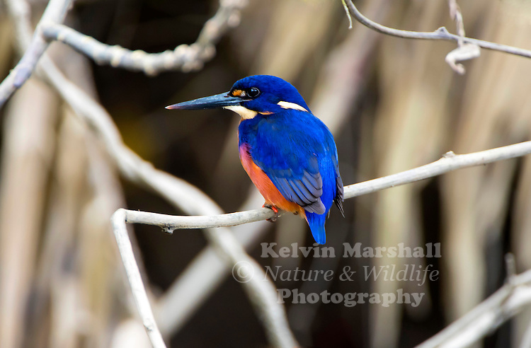 Azure kingfisher (Alcedo azurea) is a small kingfisher (17–19 centimetres (6.7–7.5 in), in the river kingfisher family, Alcedinidae. It is found in Northern and Eastern Australia and Tasmania, as well as the lowlands of New Guinea and neighbouring islands, and out to North Maluku and Romang. Daintree river, Far - North Queensland, Australia